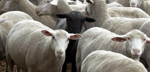 """Ein schwarzes Schaf steht am Montag (22.01.01) in der Herde seiner Artgenossen in dem Betrieb der """"Landwirtschaftlichen Produktions- und Vertriebsgesellschaft"""" (LPVG) in Muecheln. Am Wochenende wurde ein Rind aus dem 1012 Tiere umfassenden Bestand des Betriebes positiv auf BSE getestet. Am Mittwoch (24.01.01) wird das Ergebnis aus Tuebingen erwartet. Die Herde ist die bislang groesste in Deutschland betroffene. Foto: Peter Endig/ddp *** Local Caption *** 00058054"""